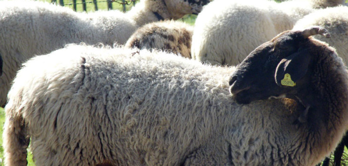 La pecora bagnolese